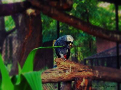 Birds, African Grey Parrot