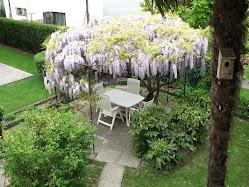 Glicine in fiore Aprile 2011