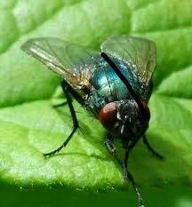 بالصور- طريقة سهلة للتخلص من الذباب نهائيا بدون المبيدات الحشرية - ذبابة دبانة حشرة - fly