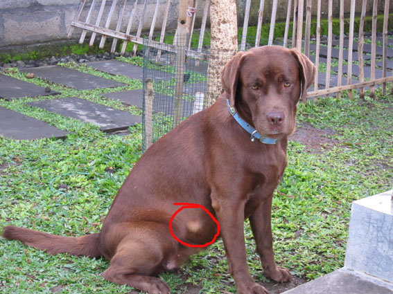Why Can T A Dog With Heartworms Get Spayed