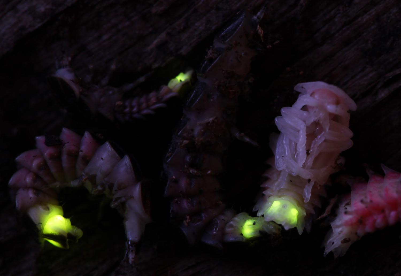 Firefly eggs - photo#13