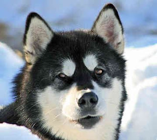 alaskan malamute dog hound canine pooch canis bow-wow despicable fellow qen txakurra it gos pas pes hond koer aso koira chien can kutya hundur madra cane suns kelb pies perro mbwa kopek ci anjing