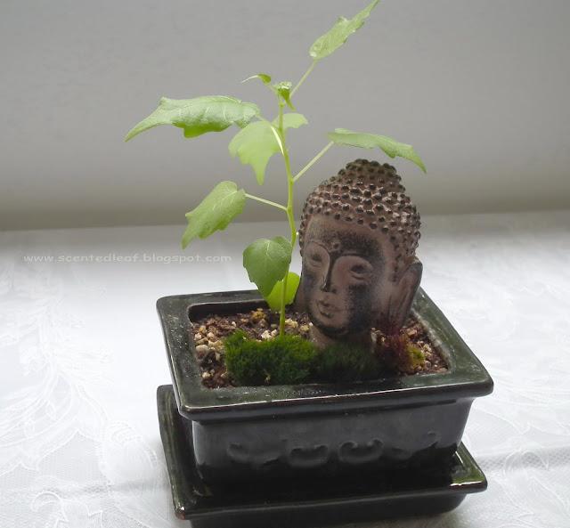 Buddha head under Ficus Religiosa seedling