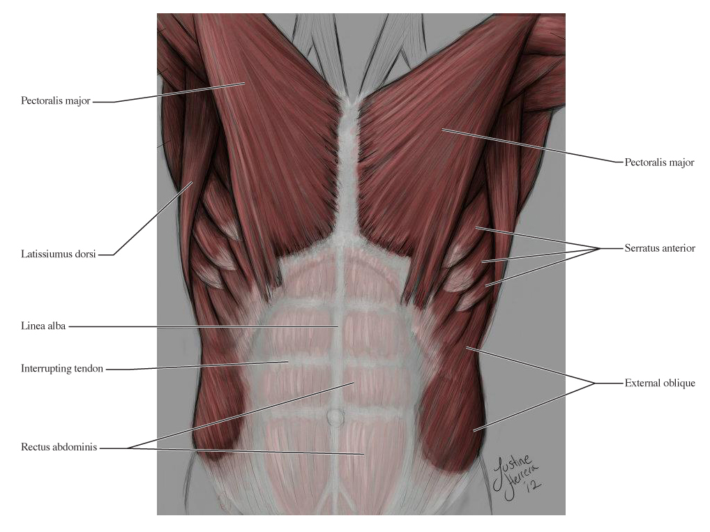 Human Anatomy For The Artist The Anterior Torso Peel Away The Layers