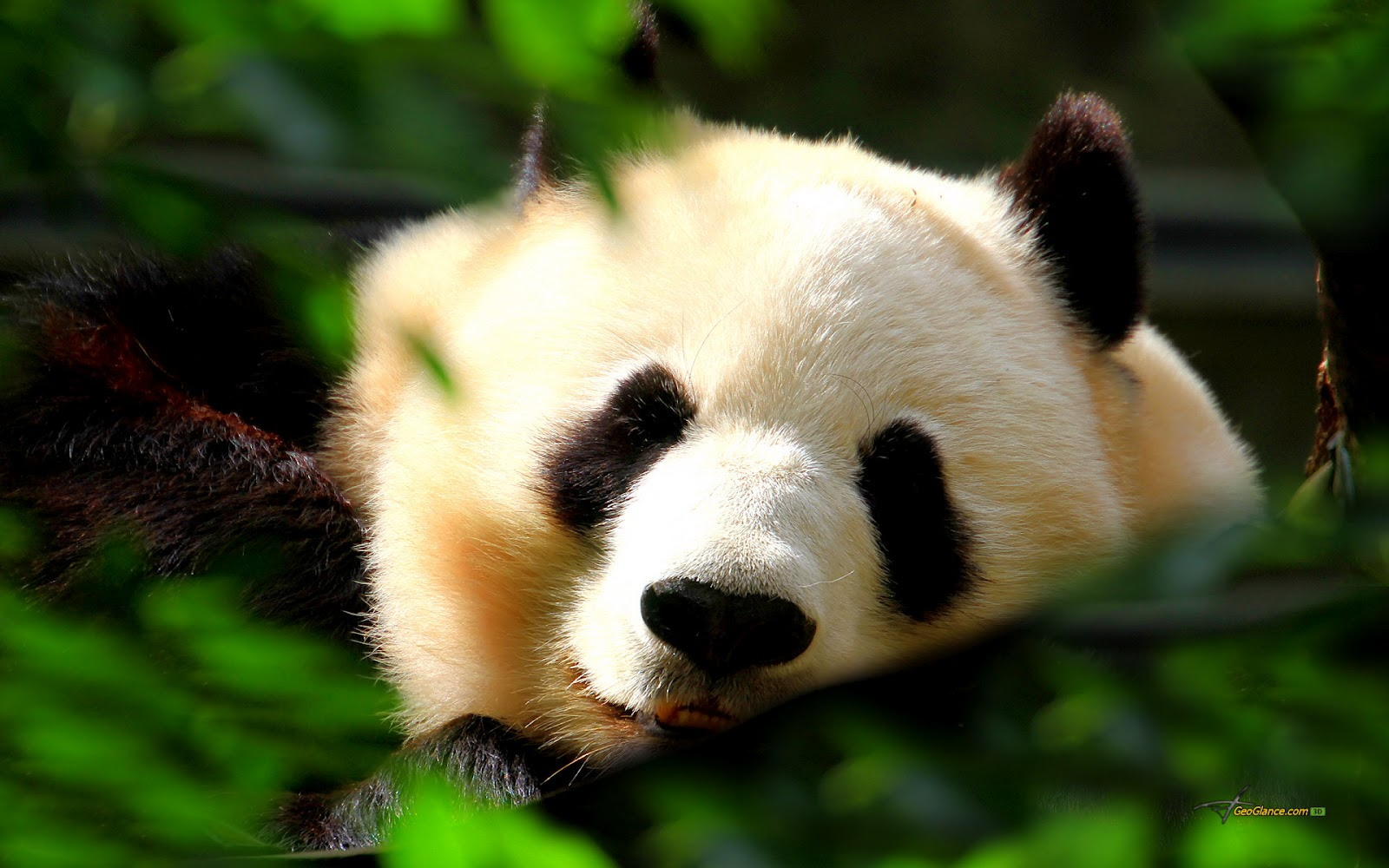 background wallpaper panda - photo #37
