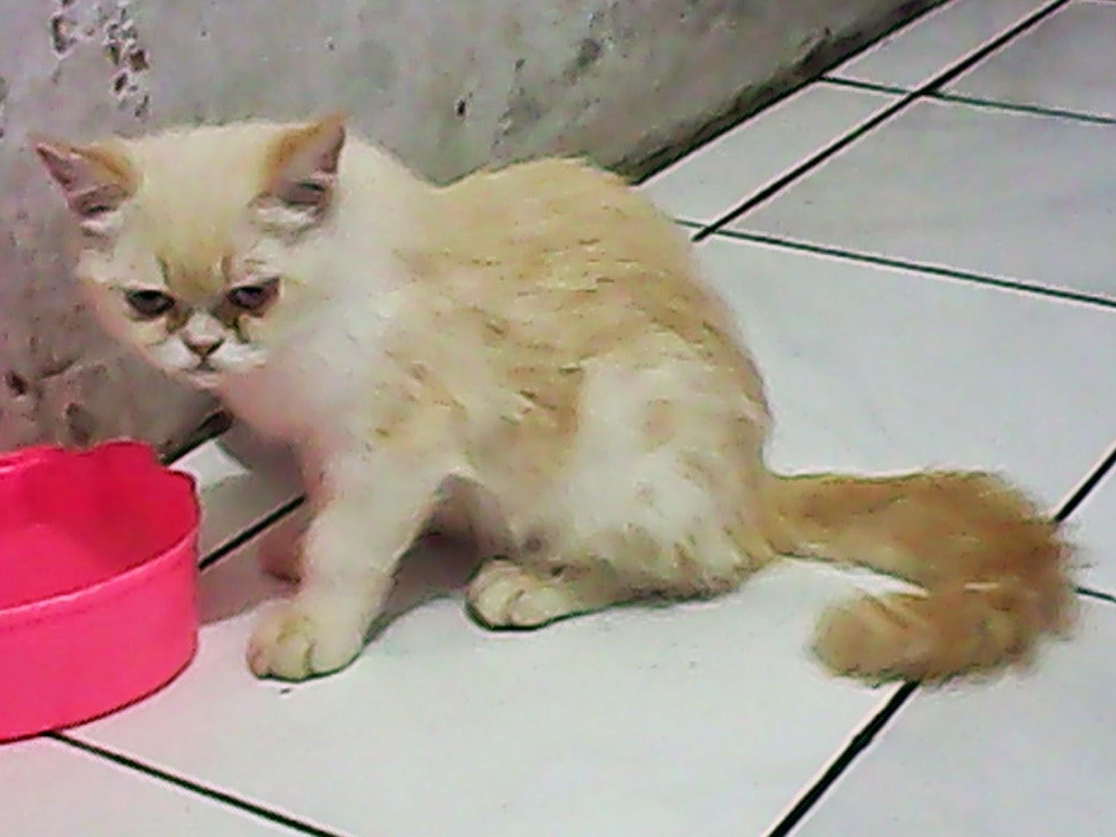 Harga Kucing Persia Exotic Shothair Segitu Petshop