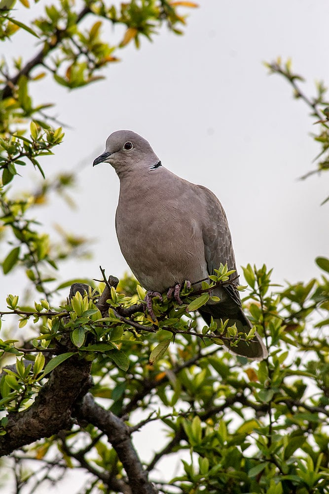 Collard Dove - Margate, Kent