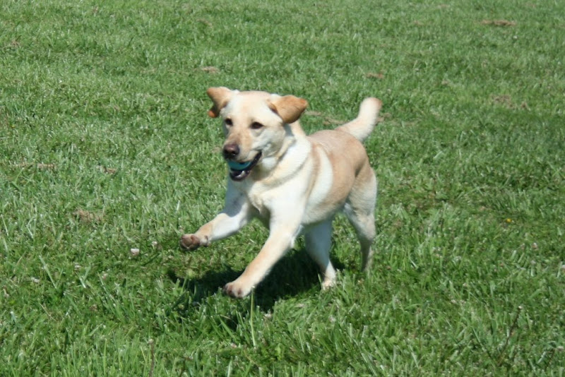 cabana returning with blue ball in her mouth, ears are in mid flounce so they look curled, her front paws are stretched out in a prancing run