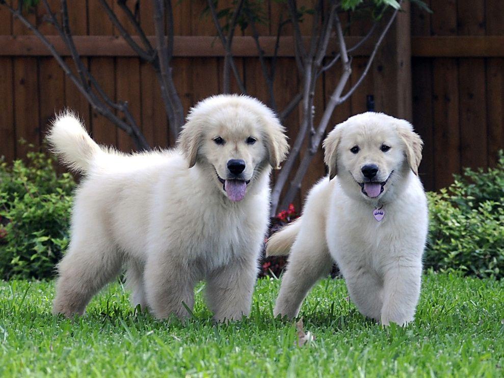 Golden Retriever Dog: Golden Retrievers Puppies