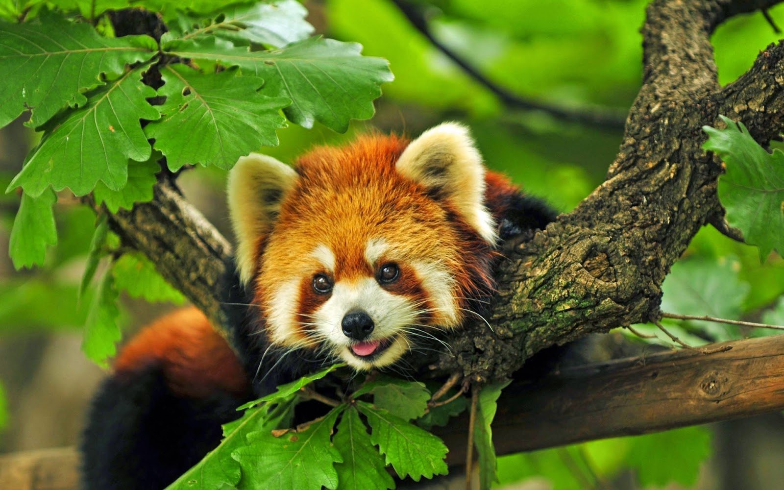 40 Adorable red panda pictures (40 pics), red panda chilling on tree branch