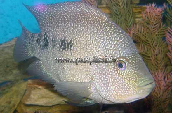 rio grande cichlid are normally a light grey with many small turquoise ...