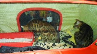 Mamíferos: gatos que parecem leopardos