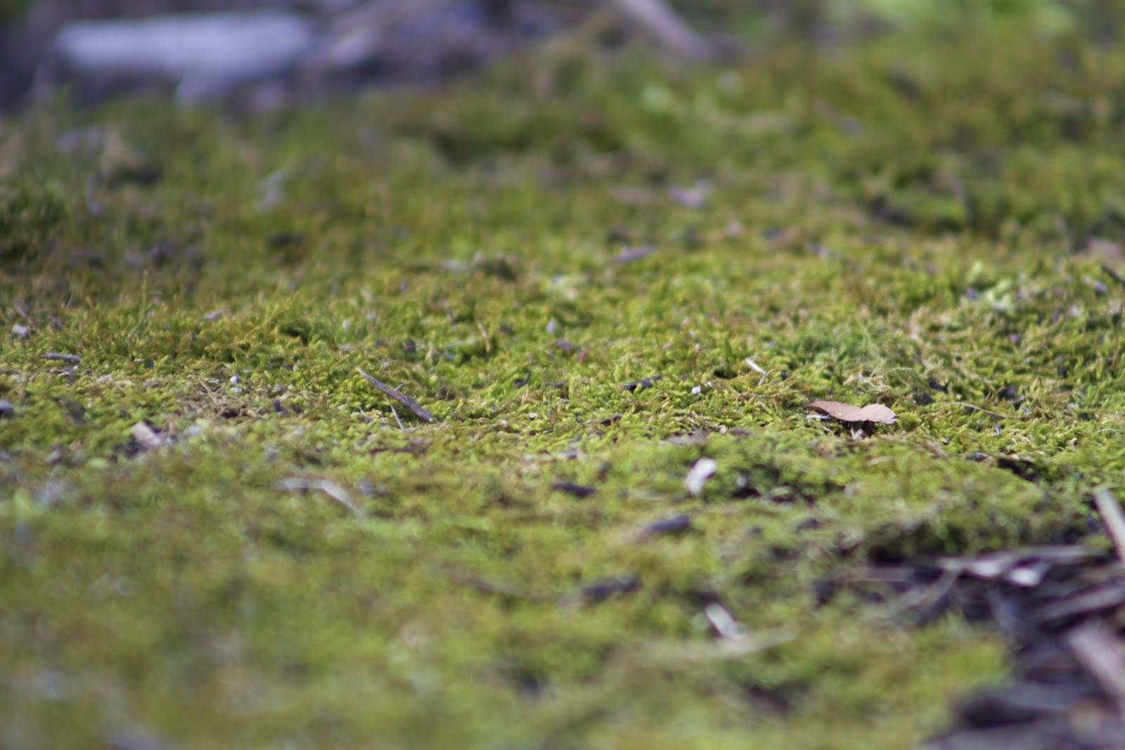 mat of Pleurocapous moss