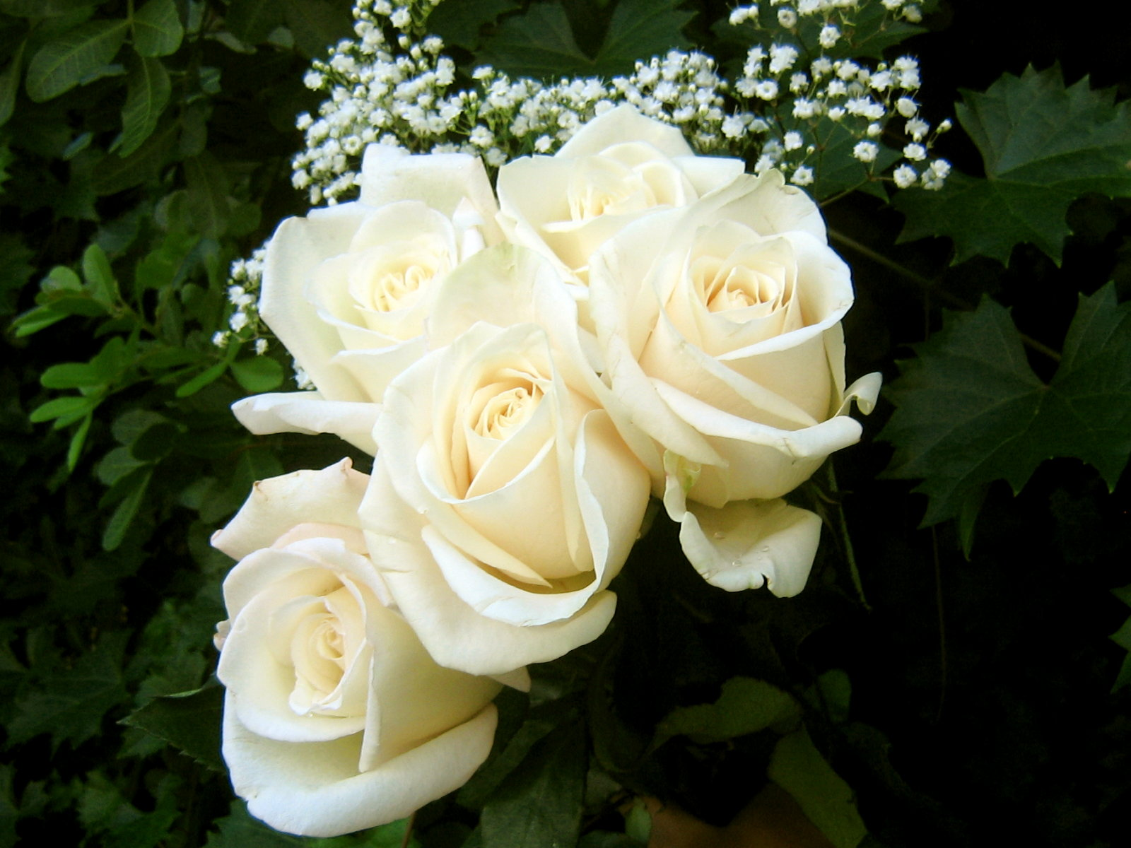 Flowers Wallpapers: White Roses Flowers Wallpapers