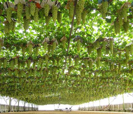 Table grapes for zambia timbuktu chronicles for Table grapes