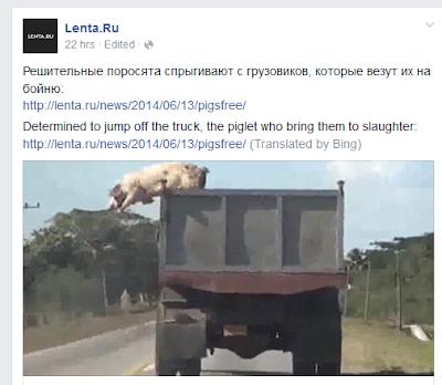 Original: Решительные поросята спрыгивают с грузовиков, которые везут их на бойню; Bing translation: Determined to jump off the truck, the piglet who bring them to slaughter.