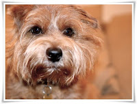 Norfolk Terrier Dog Animal Pictures