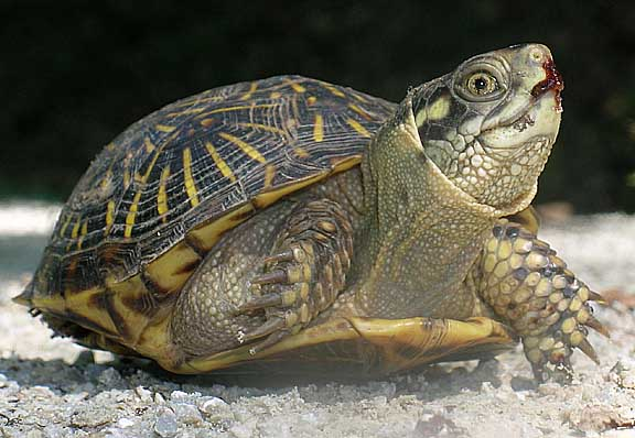 turtles and tortoise w Define turtle: any of an order (testudines synonym chelonia) of terrestrial, freshwater, and marine reptiles that have a toothless horny beak and a.