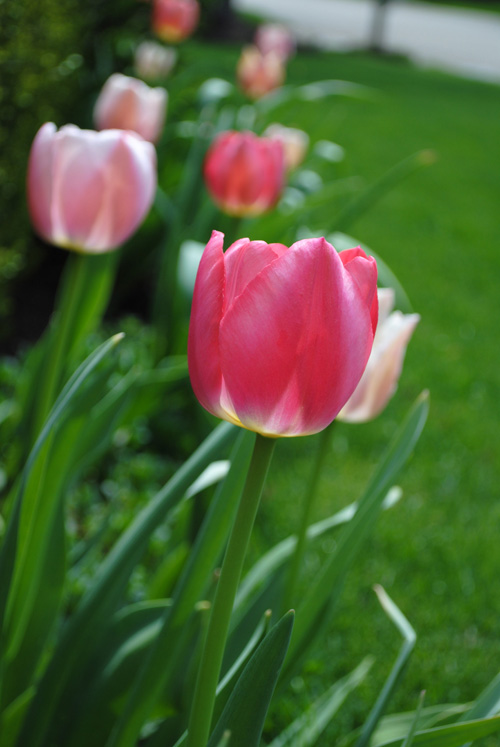 creationg with pink tulips