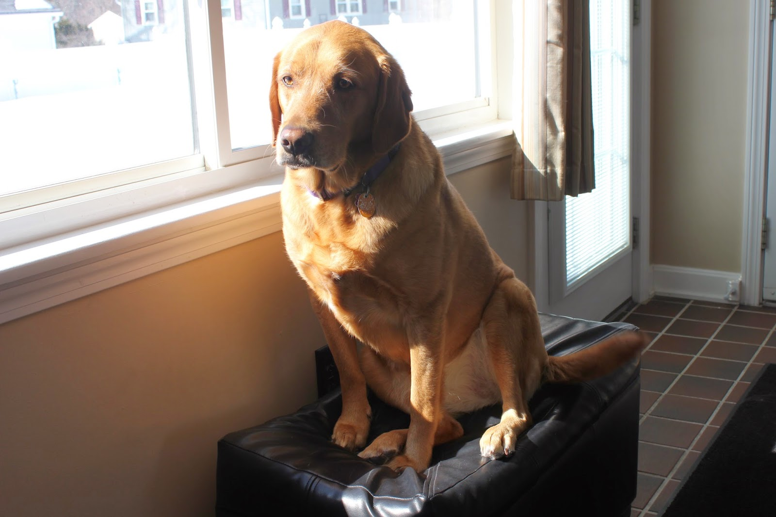 ottoman dog