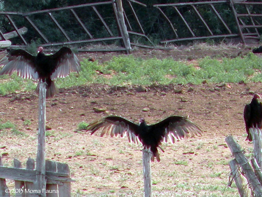 Sun Salutations of the Turkey Vulture (Cathartes aura).