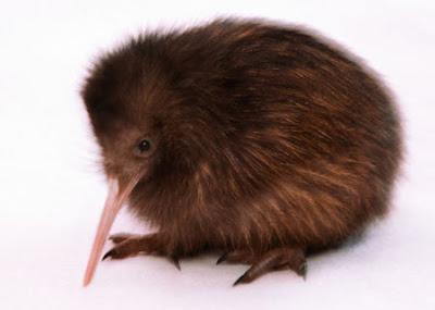 Cute Kiwi Bird