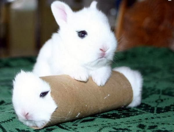 Funny animals of the week - 7 February 2014 (40 pics), a bunny stuck in a toilet paper roll while other bunny stands on it