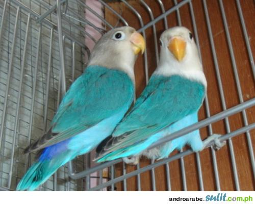 Beautiful African Love Birds 6