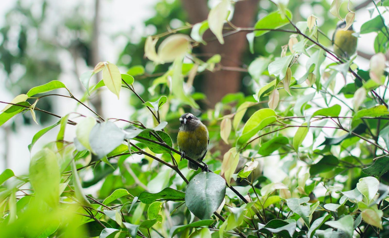 Aves mieleras del jardín