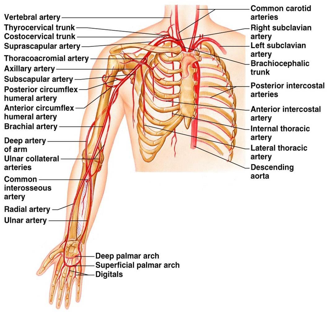 Arteries Diagram Of Left Wrist Diy Enthusiasts Wiring Diagrams