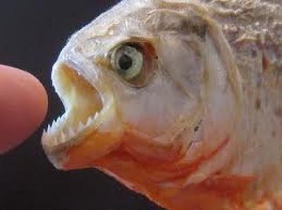 Ikan pirana. (Gambar hiasan dari Google.)