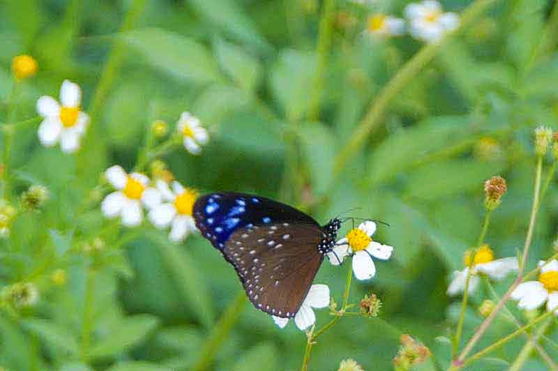 butterfly,ツマムラサキマダラ