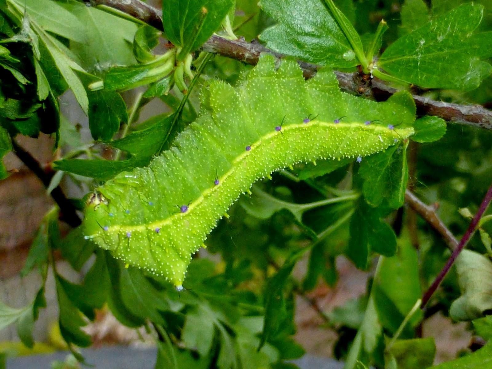 Rhodinia grigauti L5 caterpillar
