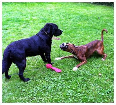 Labbi Deco und Boxer Amy