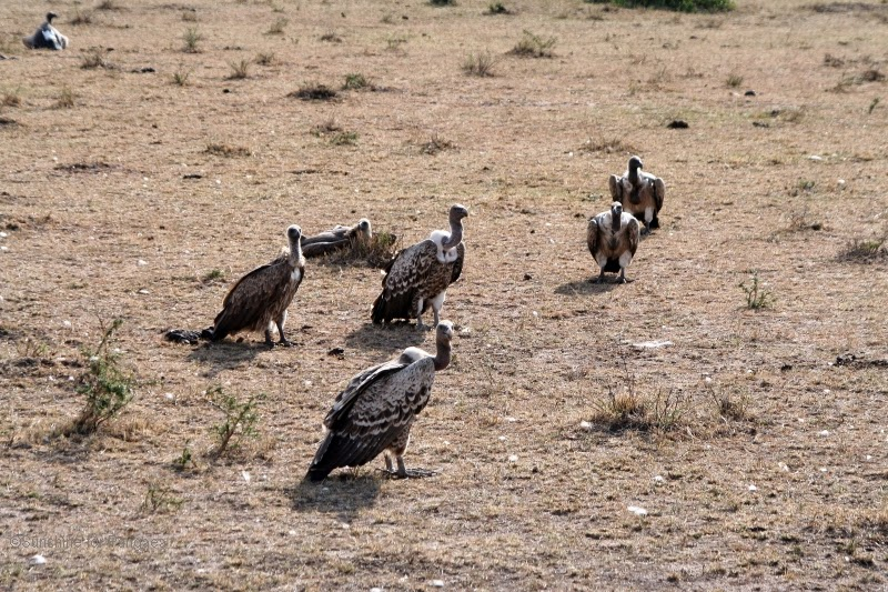 A group of Rüppell's vulture