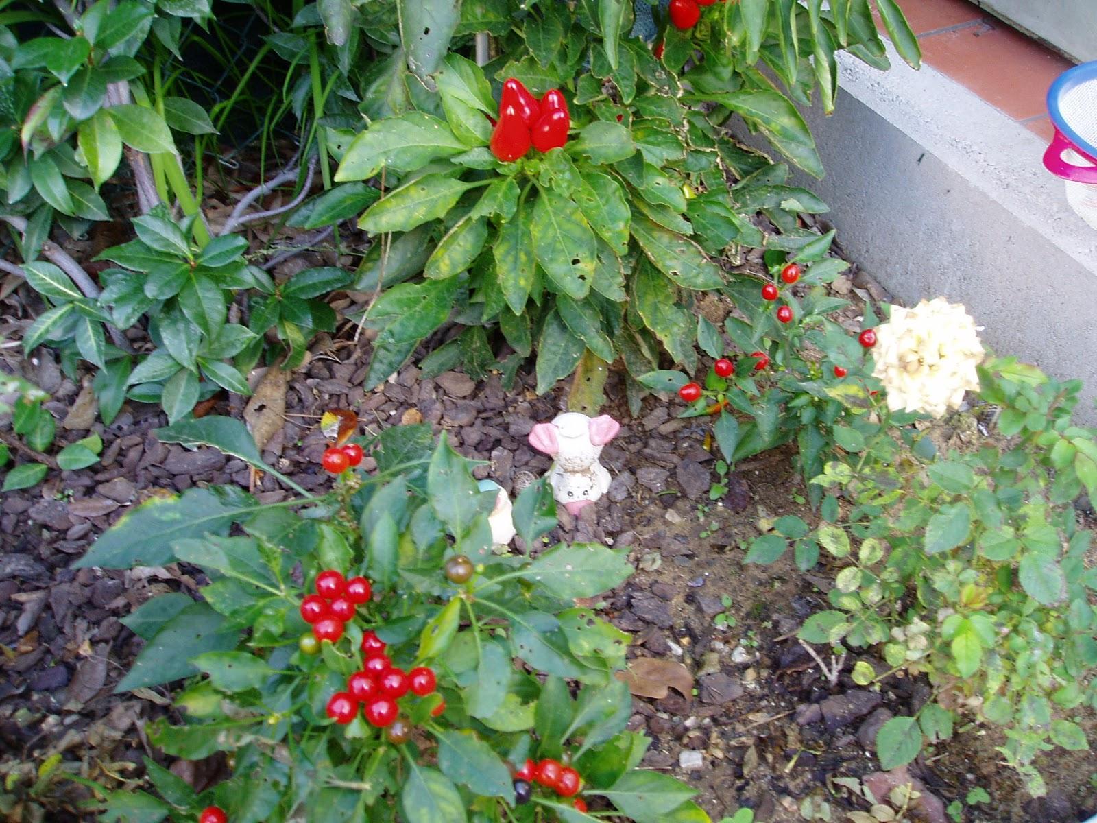 Arbusti e piante scheda peperoncino capsicum - Peperoncino pianta perenne ...