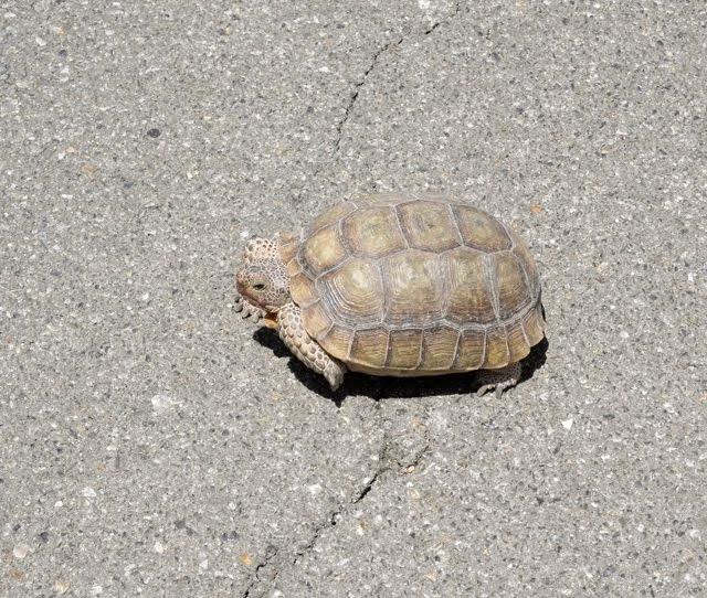 Desert Tortoise 102