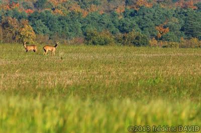 animaux cervidés nature sauvage champ campagne Seine-et-Marne