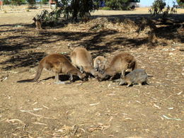 Австралия Кенгуру едят, остров Кенгуру,  Адалаида  купить тур, отзывы цены