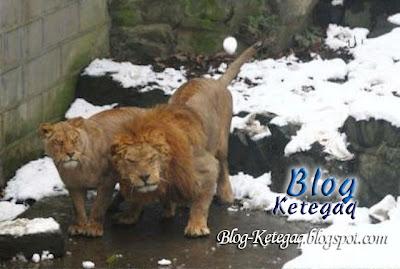 singa dalam zoo