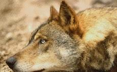Campanha pelo Lobo-ibérico