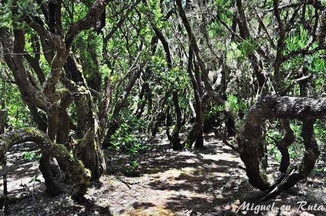 Bosques-Laurisilva-Gomera
