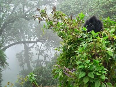 Te imaginas que los animales hicieran for Gorilas en la niebla