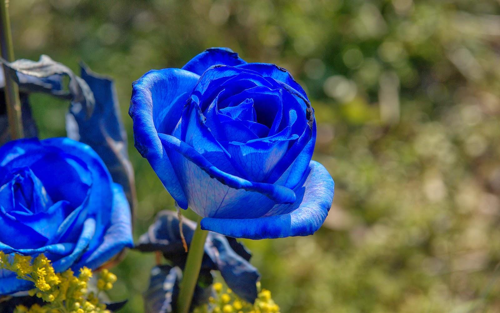 bunga mawar biru di jakarta