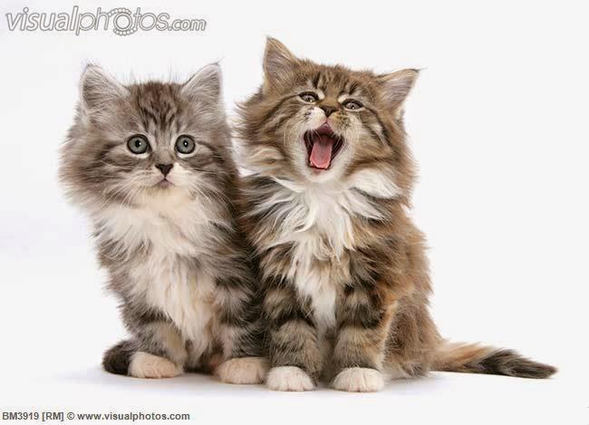 150 gambar kucing lucu dan imut termasuk anggora, persia, dan maine coon