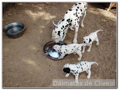 Dalmatas de cliveal de 30 dias junto a su madre
