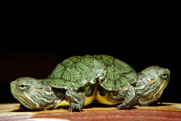 Amazing two headed red slider turtle