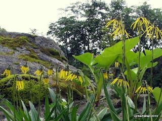 Cremanthodium potaninii