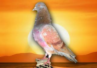 Kopassus 1 Kebumen Burung merpati pilihan kolongan Jababeka pigeon