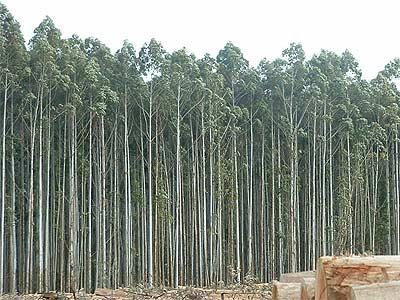 Caminando por el bosque mitos sobre el eucalipto - Informacion sobre el eucalipto ...